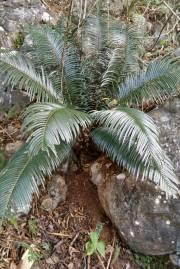 Cycas sexseminifera – Dwarf Sago