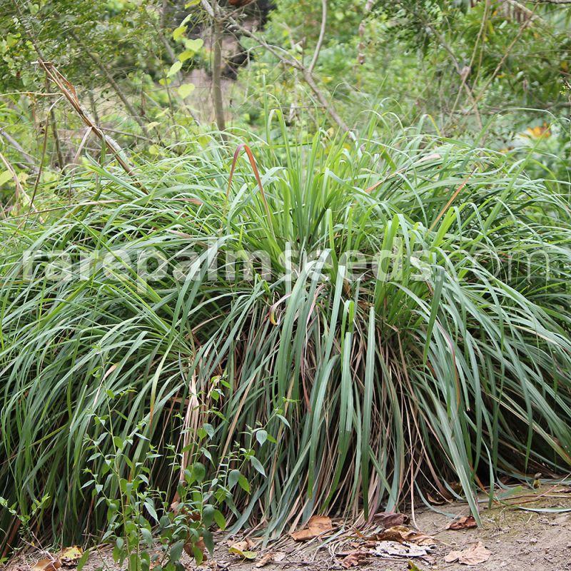 Cymbopogon Winterianus Citronella Grass Buy Seeds At