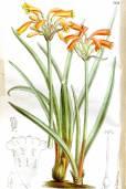 Cyrtanthus brachyscyphus