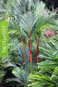 Cyrtostachys renda – Sealing Wax Palm, Lipstick Palm