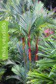 Cyrtostachys renda – Palma de lacre, palma roja