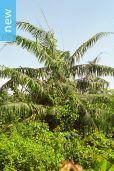 Daemonorops jenkinsiana – Major Jenkins' Rattan Palm