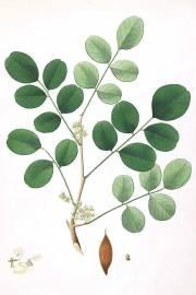 Dalbergia latifolia – Palo santo de India