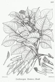 Dalbergia sissoo – Indian or Honey Rosewood, Sheesham