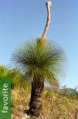 Dasylirion quadrangulatum – Mexican Grass Tree