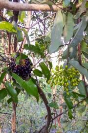 Dasymaschalon blumei – Malayan Annona