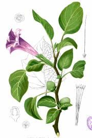 Datura metel 'Purple' – Devils Trumpet