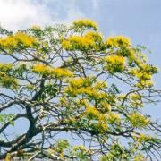 Delonix floribunda – Gelber Flammenbaum