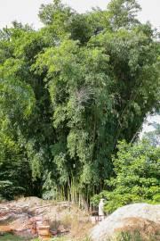 Dendrocalamus membranaceus – Giant Bamboo