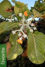 Dendroseris litoralis – Juan Fernández Cabbage Tree