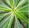 Dendroseris micrantha – Robinson Crusoe Cabbage Tree