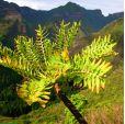 Dendroseris pinnata – Pinnate Cabbage Tree