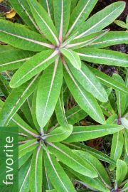 Dendroseris pruinata – Santa Clara Cabbage Tree
