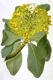 Deplanchea tetraphylla – Golden Bouquet Tree