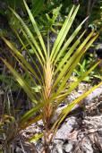 Dianella ensifolia 'Madagascar' – Madagascar Flax Lily