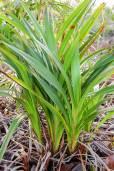 Dianella javanica – Java Flax Lily
