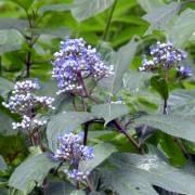 Dichroa febrifuga – Blue Evergreen Hydrangea