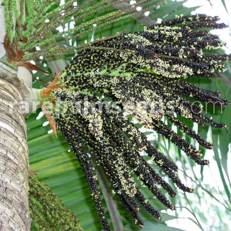 4inch Pot Rare Palm Tree Dictyosperma album
