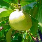 Dillenia indica – Chulta Tree, Elephant Apple