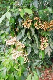 Dimocarpus longan – Longan