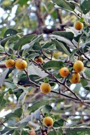 Diospyros melanoxylon – Coromandel Ebony, East Indian Ebony