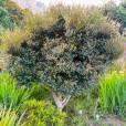 Diospyros whyteana – Schwarzrinde