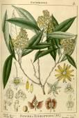 Dodonaea viscosa subsp. viscosa – Candela, Chirca de Monte