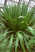 Doryanthes palmeri – Australische Palmlilie, Riesenspeerlilie