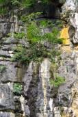 Dracaena cambodiana – Cambodian Dragon Tree