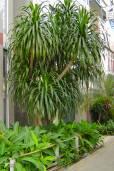 Dracaena cochinchinensis – Thai Dragon Tree