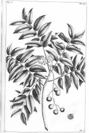 Dracontomelon dao – New Guinea Walnut
