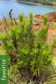 Dracophyllum mackeeanum
