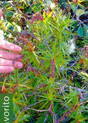 Dracophyllum strictum