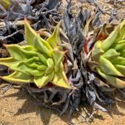 Dudleya acuminata