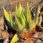 Dudleya pauciflora