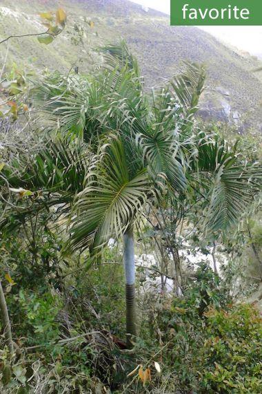 Dypsis ambositrae – Ambositra Palm