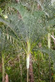 Dypsis arenarum – Sand Palm