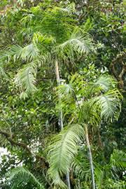 Dypsis baronii – Zuckerrohrpalme