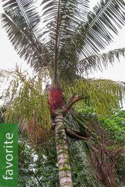Dypsis lastelliana – Red Neck Palm