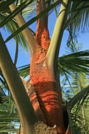 Dypsis leptocheilos – Teddy Bear Palm