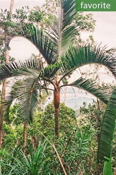 Dypsis leucomalla – White Velvet Palm, White Petiole Palm