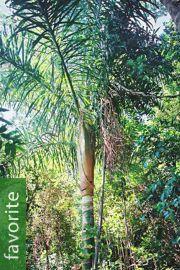 Dypsis prestoniana – Tavilo Palm