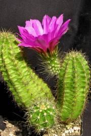 Echinocereus viereckii var. viereckii