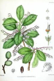 Elaeocarpus serratus – Olivo de Ceilan