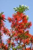 Embothrium coccineum – Chilean Fire Bush