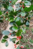 Emmenosperma pancherianum