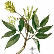 Engelhardtia spicata