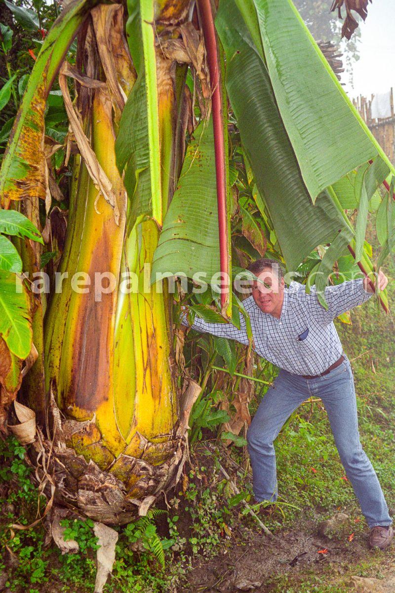 Abyssinian Banana Plant Hot Sale 10 Seeds Ensete Ventricosum