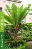 Ensete ventricosum – Abyssinian Banana