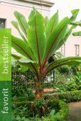 Ensete ventricosum – Abessinische Banane
